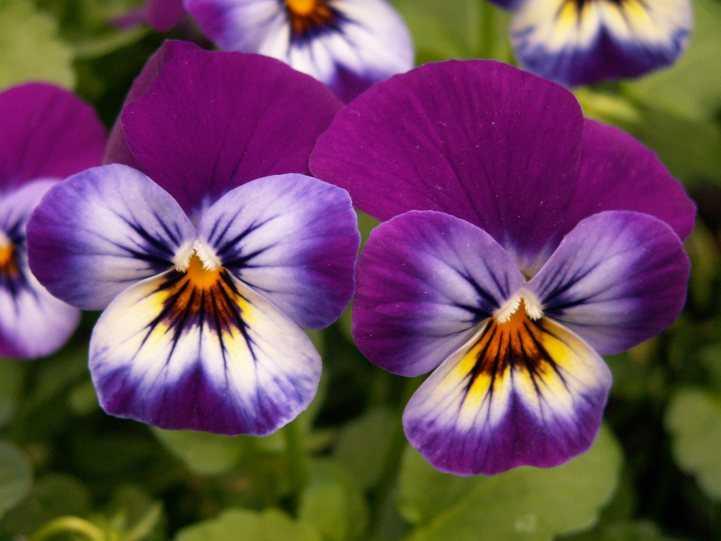 Анютины глазки (Виола) - Сад Цветов