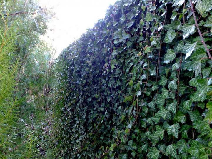 Вечнозеленый забор быстрорастущий