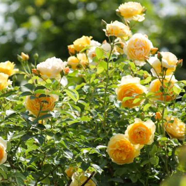 Калифорнийская чайная роза куст фото