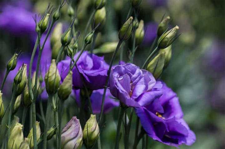 Эустома Многолетняя (Лизиантус) - выращивание из семян в домашних условиях