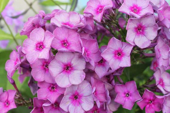 Купить цветы флоксы для посадки