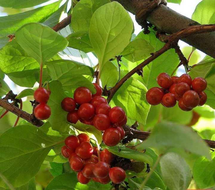 красный как выглядит лимонник китайский фото и плоды настоящее время