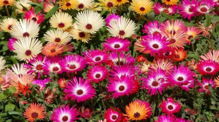 Многолетние цветы низкорослые которые цветут все лето
