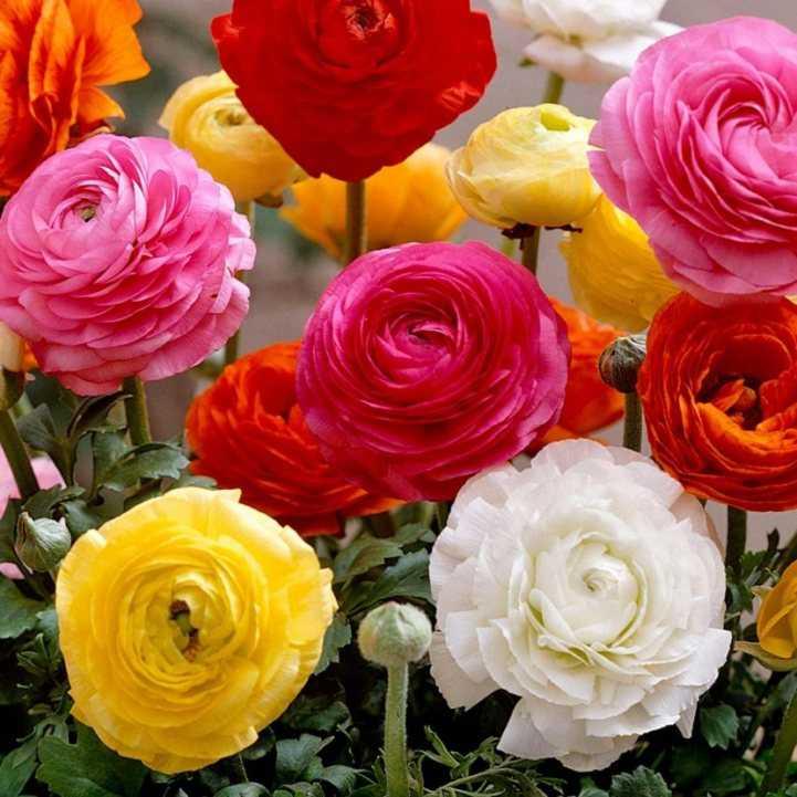 Лютики цветочки фото