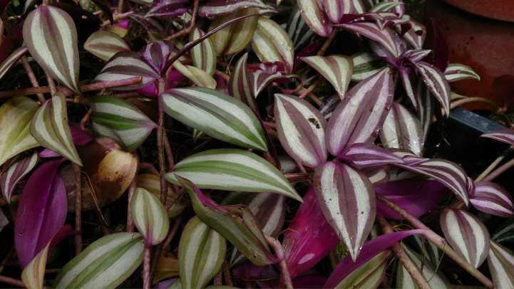 Традесканция садовая - Садовые цветы