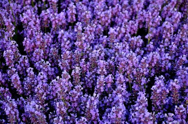 Где лучше сажать лаванду в саду: советы и рекомендации