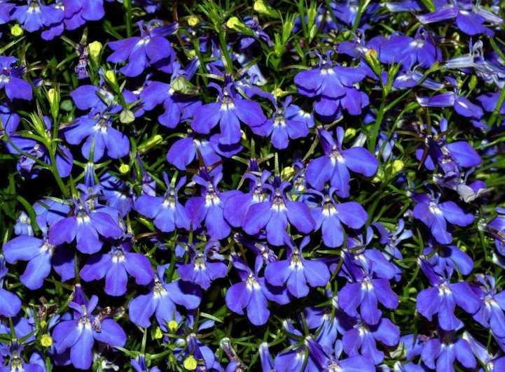 Лобелия многолетняя 32 фото посадка и уход за цветком советы по выращиванию в открытом грунте описание сортов